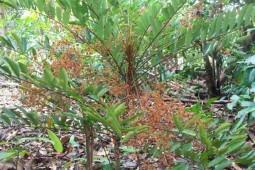 Tongkat ali tree