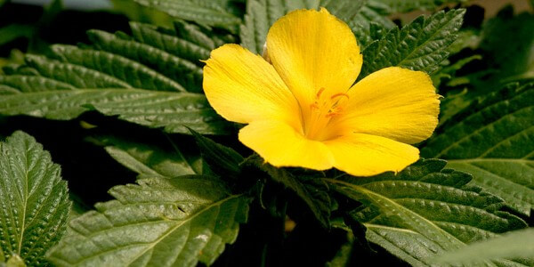 herb-a-rrific!: damiana (turnera diffusa), Skeleton