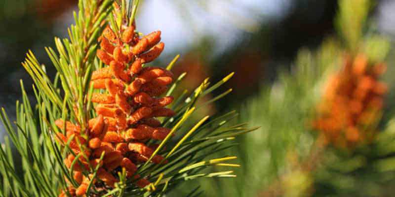 pine pollen plant